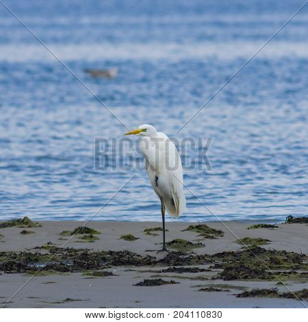 Great white heron or Great egret Ardea alba close-up portrait at sea shore with bokeh background selective focus shallow DOF.