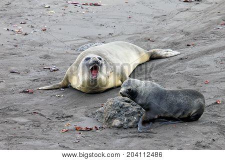 Elephant Seal and Antarctic Fur Seal, Antarctic Peninsula Antarctica