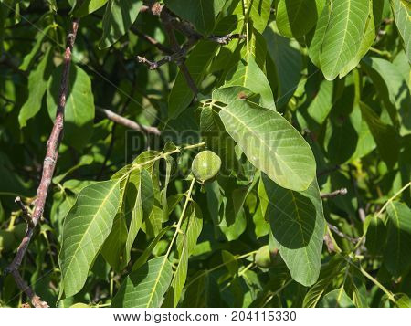 Green unripe walnut on tree with leaves close-up selective focus shallow DOF.