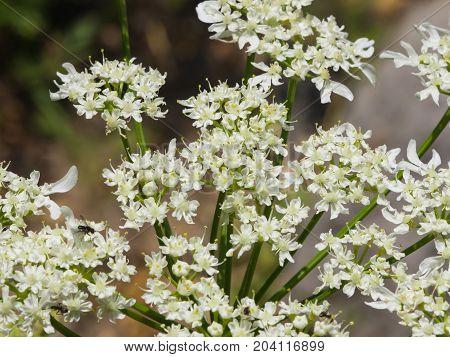Flowers on dangerous plant Hogweed Sosnowski Heracleum sosnowskyi closeup selective focus shallow DOF.