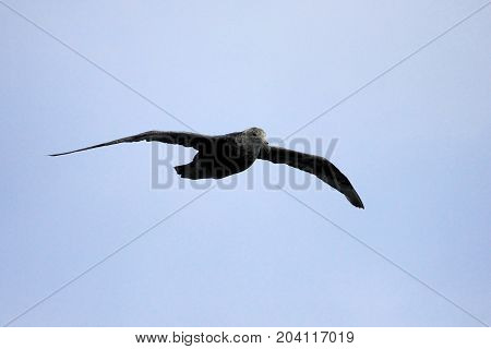 Southern giant petrel, macronectes giganteus, flying in the skies of Antarctica