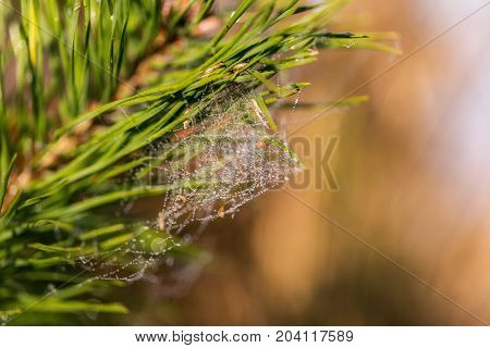 Fir twigs with spider web and soft background