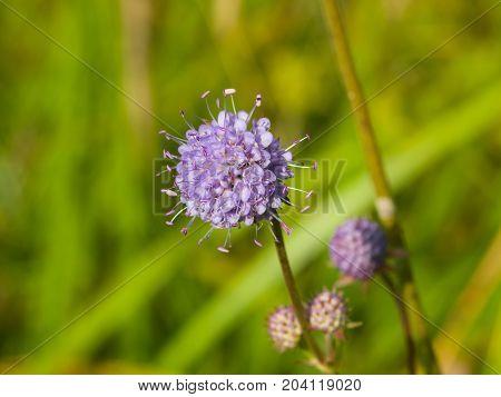 Devil's bit Scabious or Succisa pratensis flower macro selective focus shallow DOF.