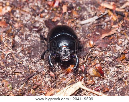 Bright Earth-boring dung beetle Anoprotrupes stercorosus portrait on ground at pine forest macro selective focus shallow DOF.