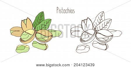 Colored and monochrome drawings of pistachios in shell and shelled with pair of leaves. Delicious edible drupe or nut hand drawn in elegant vintage style. Natural vector illustration