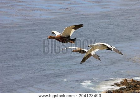 Flying Kelp Geese, Falkland Islands, Islas Malvinas