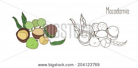 Colored and monochrome drawings of macadamia in shell and shelled with leaves. Delicious edible drupe or nut hand drawn in elegant vintage style. Natural vector illustration