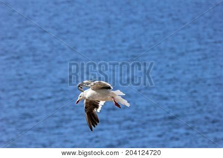 Flying Dolphin Gull, leucophaeus scoresbii Falkland Islands, Malvinas
