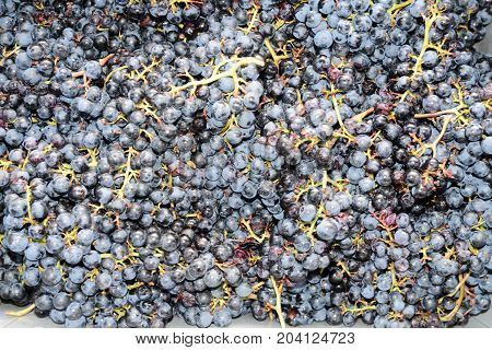 Bunches of grapes on a vineyard of Merlot