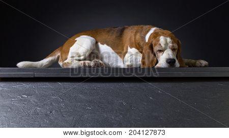 Sleeping Dog On A Dark Background .