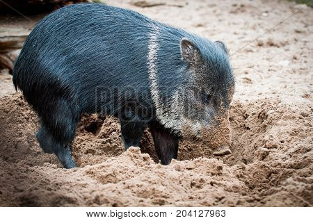 Wild Boar Standing In The Sand