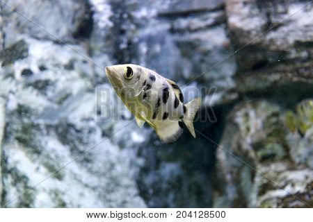 Archer fish or Blowpipe fish (Toxotidae). Wildlife animal.