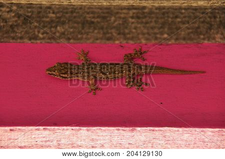 Gecko sitting on the wall in masking color. Reptile species in Indonesia