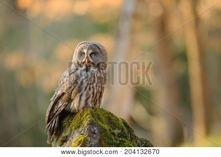 Great grey owl sitting on mossy stone in the forest with beautiful evening backlight