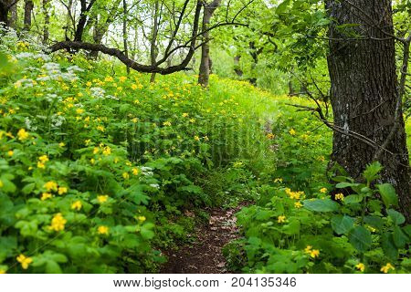 Hiking trail in a forest lined with Greater Celandine flowers