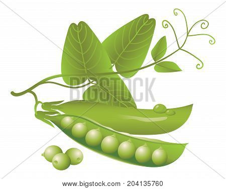 Vector logo design realistic green pea pods tendrils and leaves on a white background. Fresh vegetables or food icon.