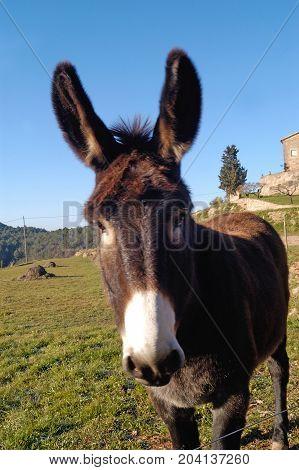 catalan donkey Photo shoots in Sant Feliuet de Terrassola Barcelona