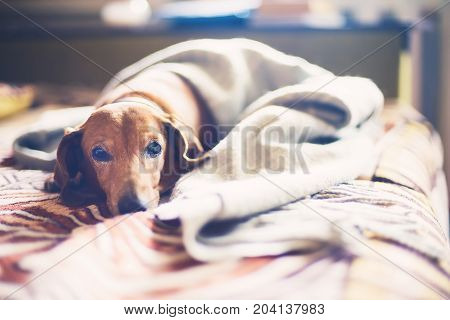 Portrait Of A Sleepy Small Dog On A Bed