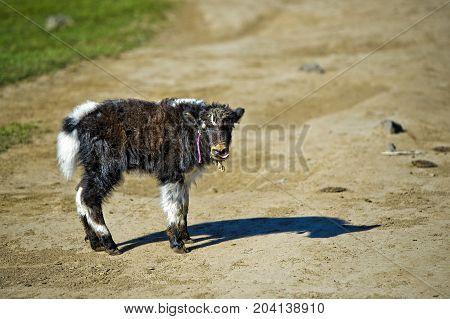 Yak calf Orkhon Valley Khangai Nuruu National Park Oevoerkhangai Aimag province Mongolia