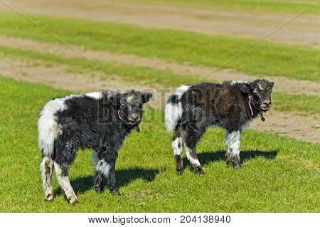 Two black. and white Yak calves Mongolia