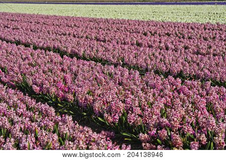 Cultivation of pink and white hyacinths in the Bollenstreek area near Noordwijkerhout Netherlands