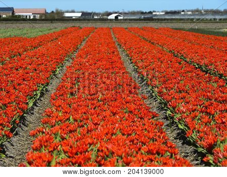 Red dwarf tulips Tulipa Greigii hybrids Dutch tulips Lisse near Leiden Netherlands