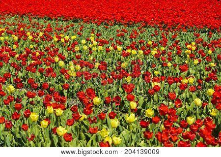 Blooming tulip field in the area of Bollenstreek Noordwijkerhout Netherlands
