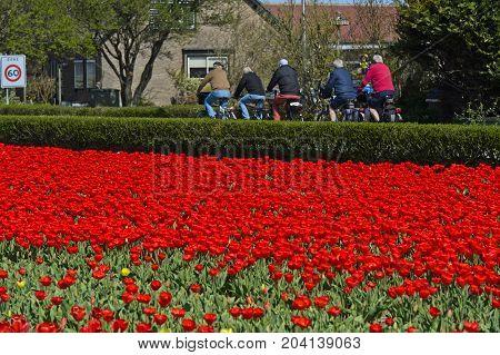 Bikers passing a field with red tulips Noordwijkerhout Netherlands