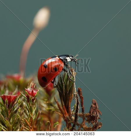 Lady-bug On Haircap Moss