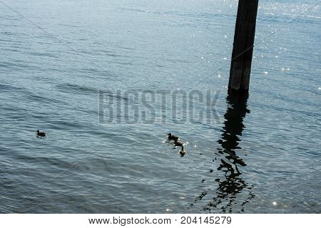 duck swimming in lake in front of wood pole water reflection