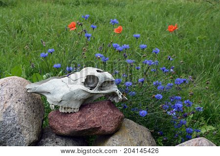 Horse skull bone cranium on stones in farm and summer flowers