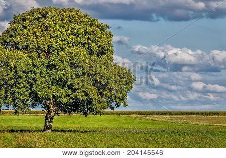 Huge walnut tree on green meadow in late summer