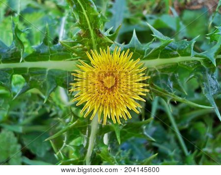 Bright, Yellow Prickly Sowthistle Flower - Close Up