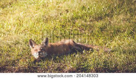 Young Red Fox (Vulpes vulpes) makes funny faces while relaxing in late afternoon sun, vintage garden setting