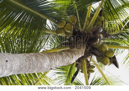 Coconuts And Tree
