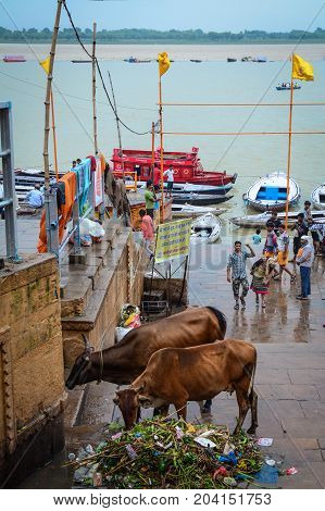 Holy Cows On The Ganges Riverbank