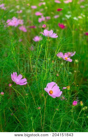 The beautiful pink cosmos flower on cosmos field.