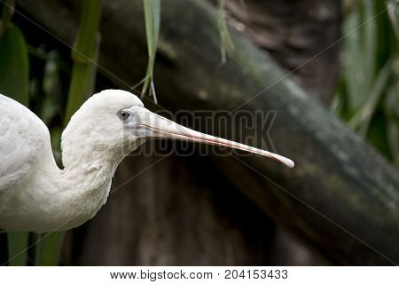this is a close up of a yellow billed spoonbill