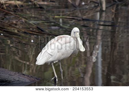 the yellow billed spoonbill is wading looking for food
