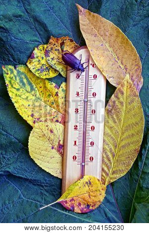 brown beetle sits on a thermometer in yellow leaves