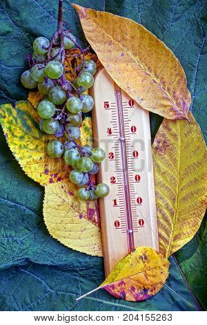 Thermometer with yellow fallen leaves and a bunch of green grapes