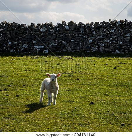 Lone Lamb in the field in Derbyshire England