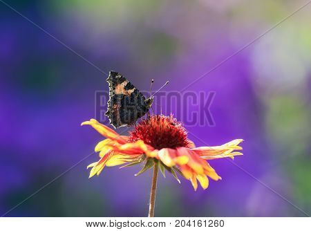 butterfly collects nectar from an orange flower Sunny summer day