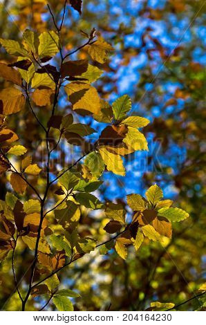 Green,yellow and orange leaves against blue sky on an autumn sunny day in Serbia