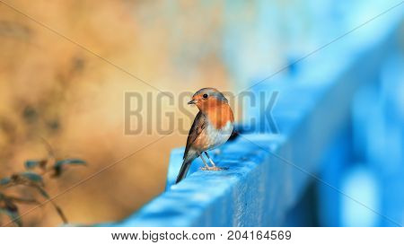 funny little orange bird Robin sitting on a blue wooden fence on a Sunny day