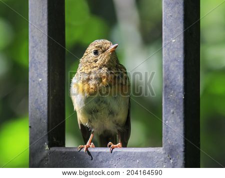little orange bird Robin chick sits on the blue wooden fence on a Sunny day