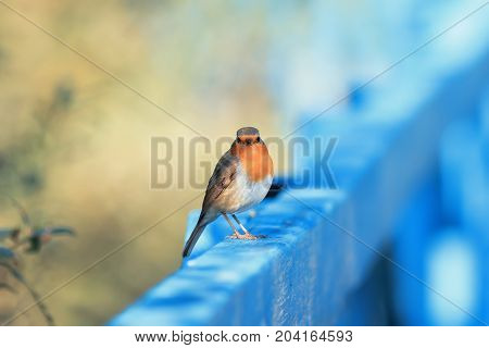 funny orange bird Robin sitting on a blue wooden fence on a Sunny day