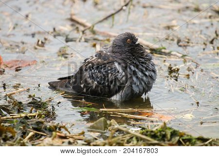 A feral pigeon with fluffed up feathers preparing to take a bath in water
