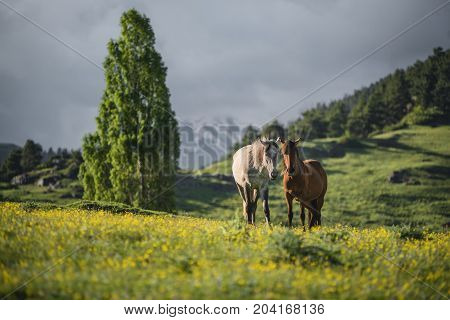 Two horses at a mountain valley at unset. Sun lightens horses. Landscape of a mountain valley with green grass and two horses.