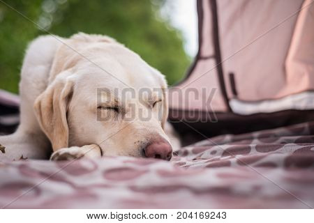 Best friend - Labrador retriever asleep in the tent on recent camping trip.